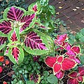 Coleus Excitement by Mary Armstrong