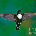 Collared Inca Hummngbird by Anthony Mercieca