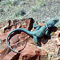 Collared Lizard by Susan Woodward