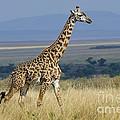 Common Giraffe by John Shaw