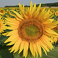 Common Sunflower Helianthus Annuus by Cyril Ruoso