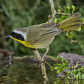 Common Yellowthroat by Anthony Mercieca