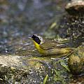 Common Yellowthroat by Doug Lloyd