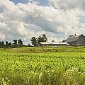Corn Growing In Maine Farm Field by Keith Webber Jr