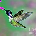 Costas Hummingbird by Anthony Mercieca