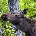 Cow Moose by Doug Lloyd