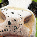 Cow No. 0651 by Carol McCarty