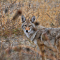 Coyote Eyes by David Armstrong