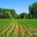 Cultivated Land by Carlos Caetano