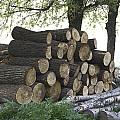Cut Tree Trunks Piled Up For Further Processing After Logging by Ashish Agarwal