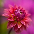 Dahlia Burst by Mike Reid
