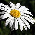 Daisy In The Garden by Ron Pate