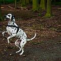 Dalmatian 5 by Martin  FF