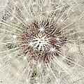 Dandelion by Kume Bryant