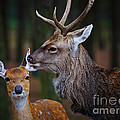 Deer Love by Nick  Biemans