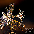 Desert Easter Lily by Robert Bales