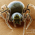 Dictynid Spider by David M. Phillips