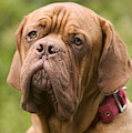 Dogue De Bordeaux by Jean-Michel Labat