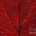 Dogwood Leaf Backlit by Jim Corwin