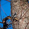 Downy Woodpecker by M Dale