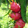 Dragon Fruit Tree by Jeelan Clark