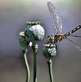 Dragonfly by Savannah Gibbs