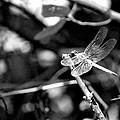 Dragonfly by Tara Potts
