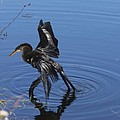 Drying Anhinga by Christiane Schulze Art And Photography