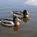 Ducks On Water by FL collection