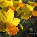 Dwarf Cyclamineus Daffodil Named Jet Fire by J McCombie