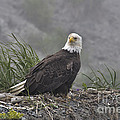 Eagle by David Arment