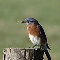 Eastern Bluebird by Rebecca Overton