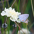 Eastern Tailed Blue Butterfly On Pincushion Flower by Karen Adams