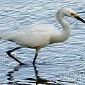 Coastal Egret by Dale Powell