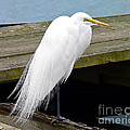 Elegant Egret by Al Powell Photography USA