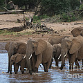Elephants Crossing The River by John Shaw