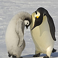 Emperor Penguins by John Shaw