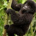 Endangered Mountain Gorillas Habitate by Carl D. Walsh