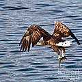 European Fishing Sea Eagle 4 by Heiko Koehrer-Wagner