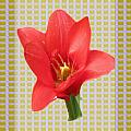 Exotic Red Tulip In Bold And Two Border Patterns Tiny Sparkle Parallal Horizontal Strips Summer Flow by Navin Joshi