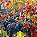 Fall Vineyard by Carol Groenen