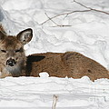Fawn In The Snow by Ken Keener