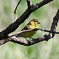 Female American Goldfinch by J McCombie