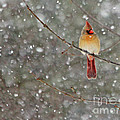 Female Cardinal In Snow by Jack Schultz