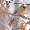 Female Cardinal In Winter by Jack Schultz