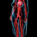 Female Vascular System by Pixologicstudio/science Photo Library