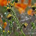 Fiddleneck Flowers by Howard Stapleton