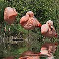 Flamingo by Paul Fell