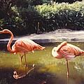 Flamingos by Robert Floyd