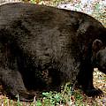 Florida Black Bear by Millard H Sharp